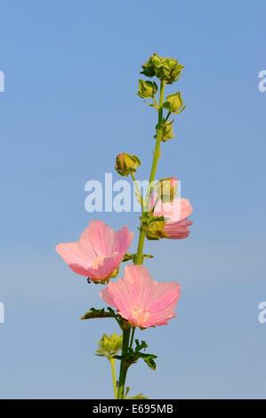 Greater Musk-mallow, Cut-leaved Mallow or Hollyhock Mallow (Malva alcea), flowers, North Rhine-Westphalia, Germany - Stock Photo