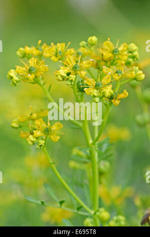 Common Rue or Herb-of-grace (Ruta graveolens), inflorescence - Stock Photo