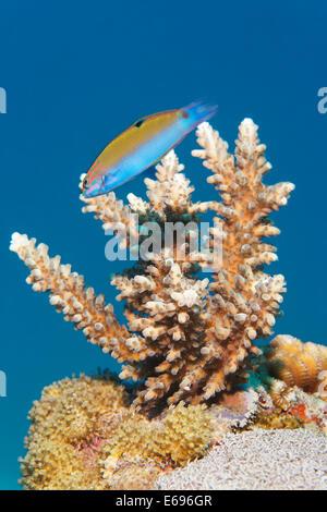 Wrasse (Thalassoma sp.) with young Acropora stone coral (Acropora sp). Makadi Bay, Hurghada, Egypt, Red Sea - Stock Photo