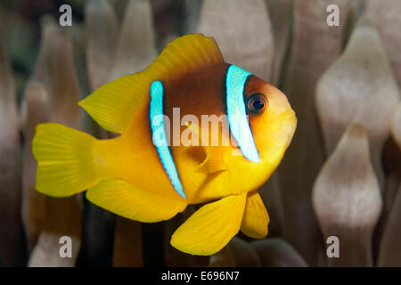 Young Red Sea clownfish (Amphiprion bicinctus) in front of Anemone, Makadi Bay, Red Sea, Hurghada, Egypt - Stock Photo