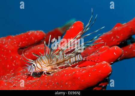 Young Red lionfish (Pterois volitans) on Toxic finger-sponge (Negombata magnifica), Makadi Bay, Red Sea, Hurghada, - Stock Photo