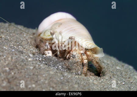 Hermit Crab (Dardanus sp.) on sandy ground, Red Sea, Makadi Bay, Hurghada, Egypt - Stock Photo