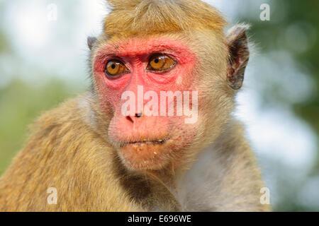 Toque Macaque (Macaca sinica), portrait, Anuradhapura, North Central Province, Sri Lanka - Stock Photo
