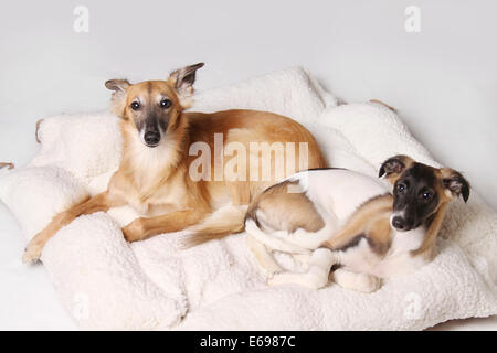 Two Silken Windsprite sighthounds lying in the dog basket - Stock Photo