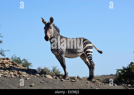 Cape Mountain Zebra (Equus zebra zebra), Western Cape, South Africa - Stock Photo