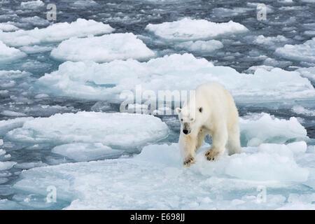 Polar bear (Ursus maritimus) walking on pack-ice, Spitsbergen, Svalbard Islands, Svalbard and Jan Mayen, Norway - Stock Photo