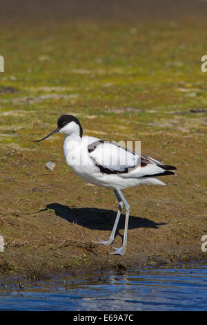 Pied Avocet (Recurvirostra avosetta) on lake shore - Stock Photo