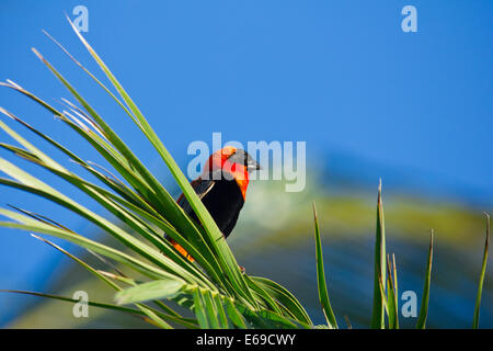 Male southern Red Bishop (Euplectes orix) perched on reeds near wetlands Quissico Mozambique, Africa - Stock Photo