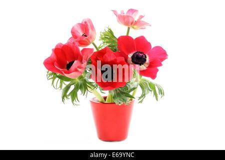 potted plant,anemone coronaria - Stock Photo