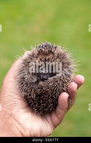 A baby European Hedgehog ( Erinaceus europaeus ), being held in a hand, UK - Stock Photo