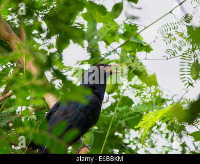 Asian Koel close up Perched in trees - Stock Photo