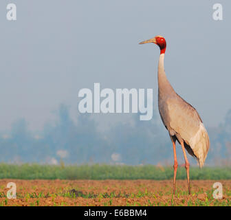 An adult Sarus Crane in a corn field in the early morning - Stock Photo
