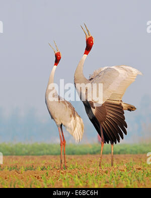 Pair of Sarus Crane in a beautiful pose - Stock Photo