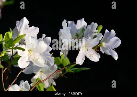 Rhododendron schlippenbachii - Stock Photo