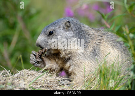 Marmot chewing the root of a plant in the Swiss Alps near the village of Saas-Fee - Stock Photo