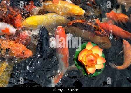 Koi fishes Japanese carps swimming in pond - Stock Photo