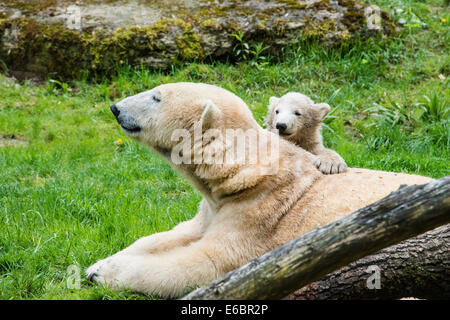 Polar Bears (Ursus maritimus), female with young, Hellabrunn Zoo, Munich, Bavaria, Germany - Stock Photo