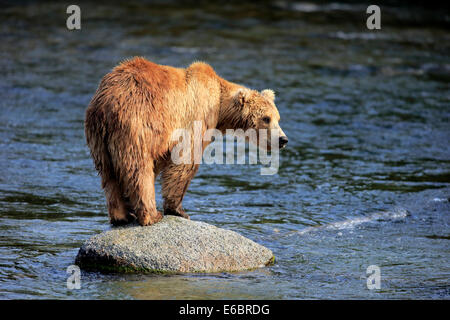 Grizzly Bear (Ursus arctos horribilis) adult, standing on rock in the water, Brooks River, Katmai National Park - Stock Photo