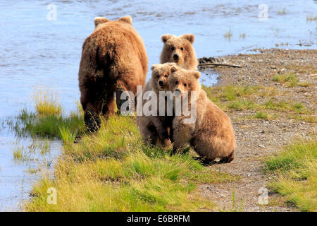 Grizzly Bear (Ursus arctos horribilis) mother with cubs at the water, Brooks River, Katmai National Park and Preserve, - Stock Photo