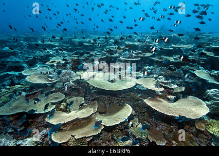 Reef flat with Acropora table coral (Acropora hyacinthus) and numerous, various reef fish, Indian Ocean, Bolifushi - Stock Photo