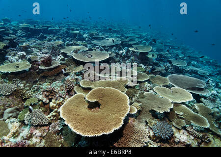Reef flat with Acropora table coral (Acropora hyacinthus), Indian Ocean, Bolifushi, South Malé Atoll, Maldives - Stock Photo