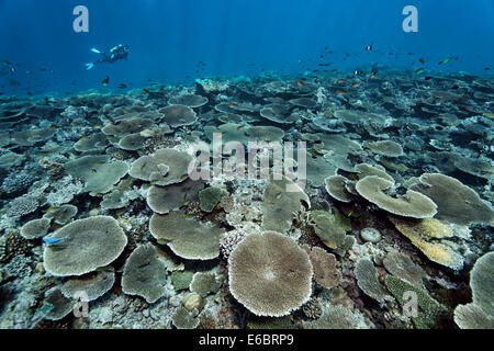 Diver over reef flat with Acropora table coral (Acropora hyacinthus), Indian Ocean, Bolifushi, South Malé Atoll, - Stock Photo