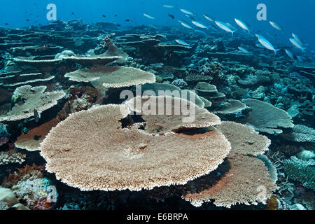 Reef flat with Acropora table coral (Acropora hyacinthus), variable-lined fusiliers (Caesio varilineata), Indian - Stock Photo