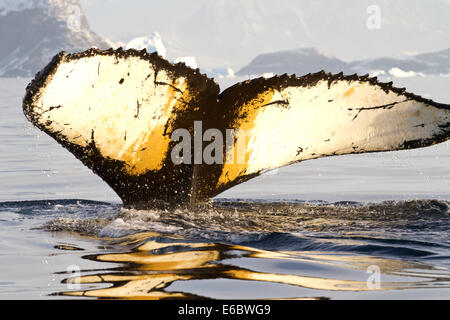 humpback whale tail diving in Antarctic waters on a sunny summer day - Stock Photo