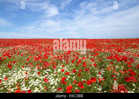 Poppy field in full bloom, blue sky and bright sunshine