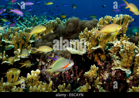 Male Threadfin anthias with a harem of female Threadfin anthias, seen flitting above a coral reef. - Stock Photo