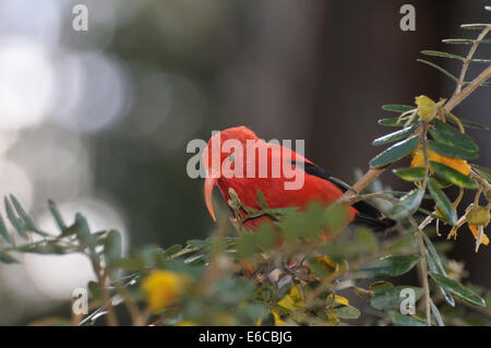 An 'I'iwi bird extracting nectar from yellow tree flowers in Maui Island, Hawaii Islands, USA. - Stock Photo