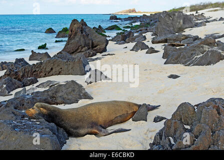 Galapagos Sea lion (zalophus californianus wollebaeki) sleeping on beach, Espanola Island, Galapagos Islands, Ecuador - Stock Photo