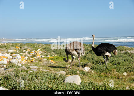 African Ostriches (Struthio camelus) foraging next to beach near Cape of Good Hope, Western Cape Province, South - Stock Photo