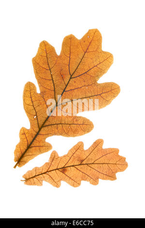 Two dry oak leaves isolated over whte background - Stock Photo