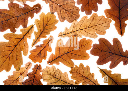 Lots of dry oak leaves, may be used as background - Stock Photo