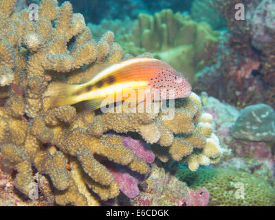 Hawkfish resting on an acropora coral colony - Stock Photo