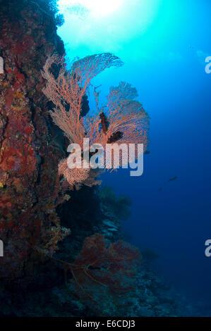 Gorgonian Sea Fan in Addu Atoll, Maldives - Stock Photo