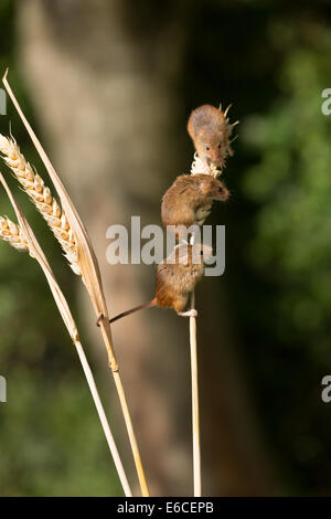 Harvest mice on wheat stem - Stock Photo