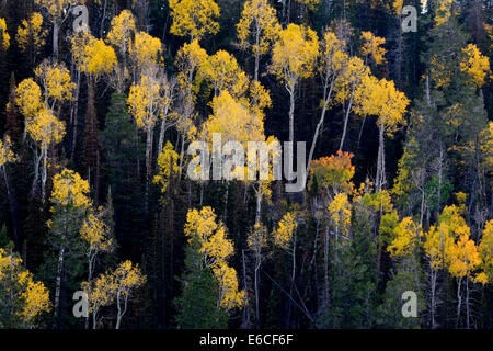 Aspen trees (Populus tremuloides) and conifers in autumn. Sevier Plateau, Fishlake National Forest, Utah, USA. - Stock Photo