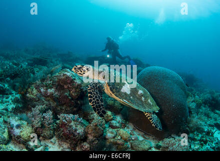 Hawksbill turtle swimming along a coral reef near the Island of Gili Lawa Laut - Stock Photo