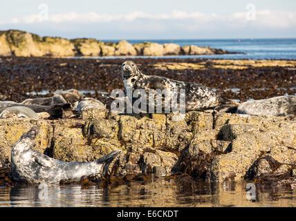 Hamford Water National Nature Reserve Seals