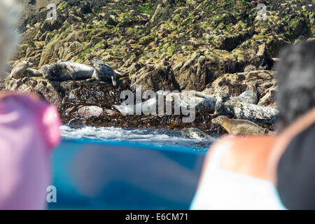 Common Seals, Phoca vitulina, on the Farne Islands, Northumberland, UK, being watched by tourists on a boat trip. - Stock Photo