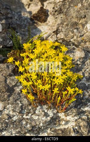 Biting stonecrop Sedum acre, flowering on rocks, Whitbarrow Scar, Cumbria, UK in July. - Stock Photo