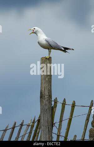 Common gull Larus canus, adult, calling whilst perched on fence, Lochindorb, Highlands, Scotland, UK in July. - Stock Photo