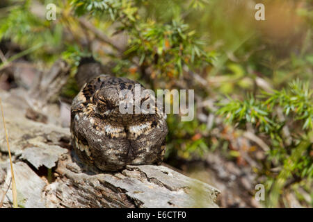 European Nightjar Caprimulgus europaeus, roosting on fallen log at St. Meyme de Rozens, France in May. - Stock Photo