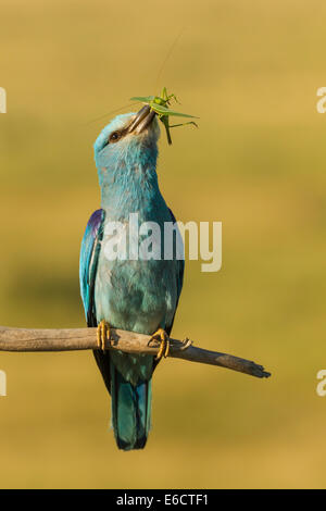 European roller Coracias garrulus, adult, with cricket prey, perched, Kiskunfélegyháza, Hungary in June. - Stock Photo