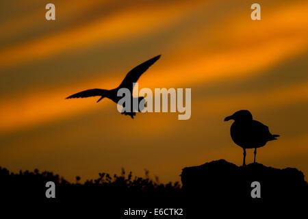 Great black-backed gull Larus marinus & Eurasian oystercatcher Haematopus ostralegus, adult perched and backlit, - Stock Photo