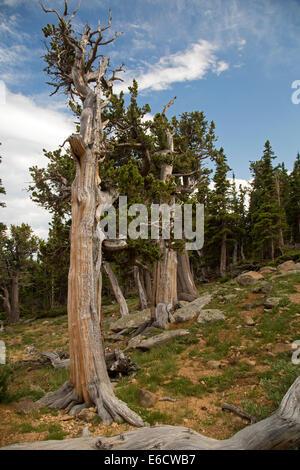Idaho Springs, Colorado - Bristlecone pines (Pinus aristata) in the Mt. Goliath Natural Area on Mt. Evans. - Stock Photo