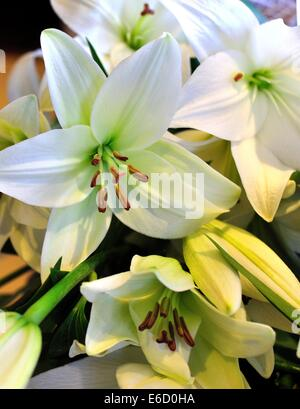 white lilies, lilium, on an unseen surface, some fully open, others still closed - Stock Photo