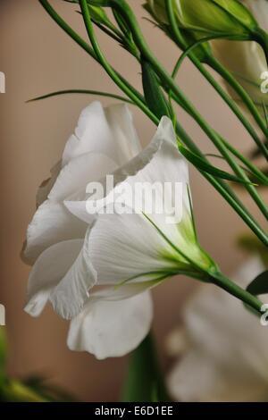 white Lisianthus Eustoma flower with stems - Stock Photo